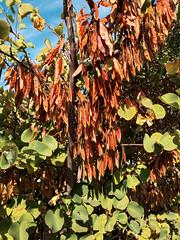 20170912_092808—Cercis occidentalis—Ohlone Greenway—DxO (John Rusk) Tags: dxokodakporta160vcpreset berkeley ca usa dxofilmpack taxonomy:kingdom=plantae plantae taxonomy:subkingdom=tracheophyta tracheophyta taxonomy:phylum=magnoliophyta magnoliophyta taxonomy:class=magnoliopsida magnoliopsida taxonomy:order=fabales fabales taxonomy:family=fabaceae fabaceae taxonomy:genus=cercis cercis taxonomy:species=occidentalis taxonomy:binomial=cercisoccidentalis cercisoccidentalis westernredbud californiaredbud taxonomy:common=westernredbud taxonomy:common=californiaredbud