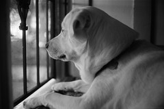 Blue on Watch - Olympus 35SP - TMAX 100 (divewizard) Tags: olympus 35sp rangefinder olympus35sp gzuiko 42mm f17 kodaktmax100 tmax100 kodak tmax 100 tmx film analog película analógica bw blackwhite blackandwhite blackwhitephotos blancoynegro noiretblanc schwarzundweiss ncps northcoastphotographicservices chrisgrossman white whitedog male blue dog goberian goldenhusky whitegoberian whitegoldenhusky culvercity losangelescounty california 90230 bokeh dof
