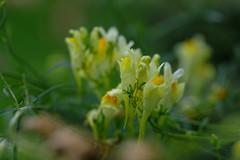 Toadflax (Leinkraut) (roland_zink) Tags: nature neuanspach hessen deutschland deu