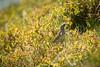 Mistle Thrush (Future-Echoes) Tags: 4star 5star 2017 bird bokeh depthoffield dof mistlethrush thrush wales