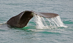 Anglų lietuvių žodynas. Žodis sperm-whale reiškia n zool. kašalotas lietuviškai.