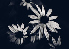 Black and White Flowers (rickmcnelly) Tags: flower gx8 bw rollei carl zeiss planar 50mm18 rolleicarlzeissplanar50mm18