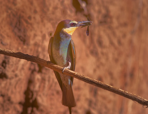 European Bee-Eater with wasp, Potchefstroom Breeding
