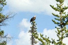 highest perch (useless no more) Tags: scottlough northerncanada subarctic canadiannorth baldeagle eagle