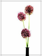Allium aflatunense. 3 (Helena de Riquer) Tags: alliumaflatunense allium inflorescencias amaryllidaceae flors flores fleurs flowers ampolla botella bottle bouteille 3 tres three trois tre gramona videglass gewürztraminer saveearth helenaderiquer photoshop highkey clavealta topf25 flickr 2008 topf50 topf75 topf100 100faves nikon nikone4200 interestingness