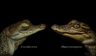 Crocodilian Comparison