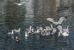 Preys, seagulls and reddish sea.. (ninestad) Tags: