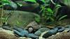 IMG_9846 (Laurent Lebois ©) Tags: laurentlebois france reptile rettile reptil рептилия tortue turtle tortoise tortuga tartaruga schildkröte черепаха chelonia sternotherus minor terrariophilie razorbackmuskturtle cinosterne