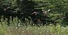 Wild Turkey's - 8/26/17 (myvreni) Tags: vermont summer nature outdoors wildlife wildturkeys birds