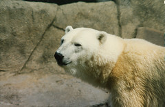 Polar bear (ucumari photography) Tags: ucumariphotography polarbear ursusmaritimus oso bear animal mammal zoo osopolar ourspolaire oursblanc eisbär ísbjörn orsopolare полярныймедведь riverbankszoo columbia sc south carolina august 1996 scan 北極熊