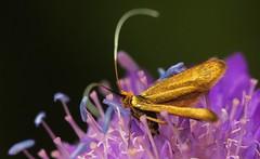 Longhorn Micro Moth (Nemophora Sp,) Austria (3) (Richard Collier - Wildlife and Travel Photography) Tags: austria zillertal wildlife naturalhistory macro closeup zillertalalps longhornmicromoth nemophorasp