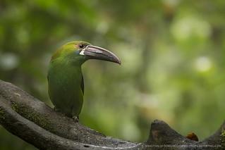 Crimson-rumped toucanet (Aulacorhynchus haematopygus)