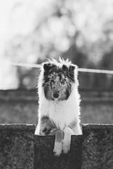 Collie. (Gerardo Nava Fotografía) Tags: sony sonyflickraward sonyalpha sonyméxico sonya77ii sonnart18135za sonnart18135 sonyzeiss sal135f18z zeiss zeisslens collie dog doggy doggie mascota méxico bokeh
