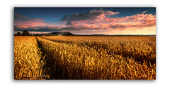 From Down Islandhill Way (RonnieLMills) Tags: longlands road islandhill barley wheat field lines warm tones cloudy skies scrabo tower farming agriculture comber newtownards county down northern ireland