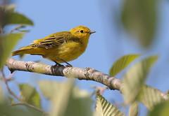Yellow Warbler (Eric_Z) Tags: yellowwarbler warbler yellow coquitlam britishcolumbia canada canoneos7dmkii ef100400mmf4556lisiiusm