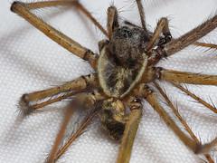 2017-09-21-exoskeleton of a spider (tobyjug5) Tags: arachnid molt focusbracketing olympus zuiko60mmmacro em1mk2 berlebach tripod shedskin cuticle molting