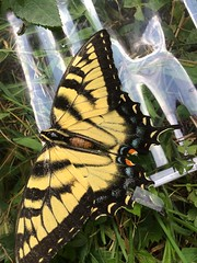 How I Wish I Could Fly 😥 (Scorpiol13) Tags: ephemeral lifecycle growth stagesoflife circleoflife beautyofnature transformation metamorphosis insect beauty swallowtail beautiful nature sad injured tape torn rip brokenwing wings butterfly