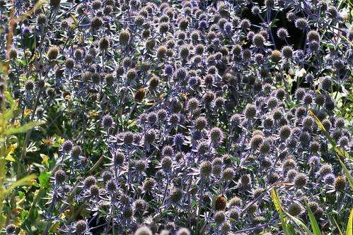 Spiky blue eryngium
