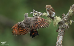 Flicker Versus Owl (Northern Flicker and Northern Pygmy Owl) (The Owl Man) Tags: