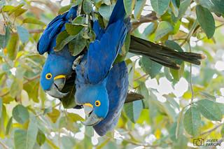 Arará Azul Grande | Guacamayo Jacinto