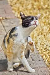 Scratch That Itch (timvandenhoek1) Tags: sonyilce6000 calico cat animal timvandenhoek midwest missouri olympustcon17x sonye55210mmzoomlens