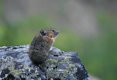 Pika (Christopher Lindsey) Tags: gothicbasintrail mammal pika snohomishcounty washington cascades