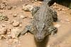 matanzas-24.jpg (BradPerkins) Tags: crocodilefarm crocodile cuba animals