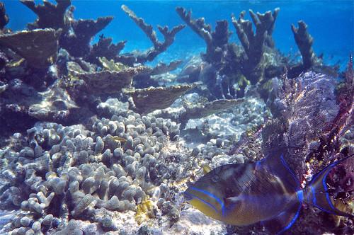 Queen Triggerfish (Balistes vetula)