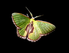 Synchlora amplimaculata? (Over 6 million views!) Tags: peru moth idme green manu synchlora
