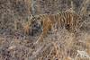 Perfect Camouflage (fascinationwildlife) Tags: animal nature natur national park mammal tiger predator cat bengal india indien forest camouflage big wild wildlife summer tigress female endangered species ranthambhore raubkatze