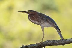 Green Heron (JDA-Wildlife) Tags: birds nikon nikond7100 tamronsp150600mmf563divc jdawildlife johnny portrait closeup eyecontact heron herongreen greenheron composition