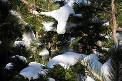DSC_0384 Verschneite Nadeln, Sooßer Lindkogel 20.12.2010 (MQ73) Tags: 2010 20122010 wandern niederösterreich loweraustria österreich austria soos wald wienerwald forest wood viennawoods schnee winter snow hiking