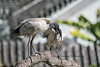 DSC_3073 Australia: Sidney China garden- (Rocco Comandè 2010) Tags: roccocomandè©photography australia sidney whiteibis australiano ibisbiancoaustraliano uccello bird volo ali volare