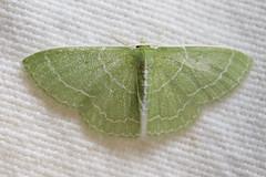 Synchlora aerata (Wavy-lined Emerald) (Kristof Zyskowski and Yulia Bereshpolova) Tags: geometridae synchlora aerata wavylined emerald connecticut
