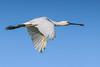 Spoonbill (Koen Adriaenssen) Tags: bird lepelaar spoonbill fly flying nature beautiful big feather wing beak wild wildlife canon 1d iv 100400