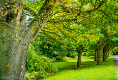 Huddling Trees (Khalid H Abbasi) Tags: tree forest green treetrunk sonydscrx100m3 walsgraveonsowe coventry england nature outdoors roadside foliage dorchesterway summer treeshade
