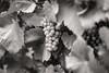 Chardonnay (x1klima) Tags: vertus grandest frankreich fr sonya7r ilce7r zeiss sonnarfe55mmf18za sonnartfe1855 monochrome schwarzweis noiretblanc bw plain blackandwhite reise travel voyage traveling voyages landscape nature landschaft natur vine vin vineyard viniculture vino view wein weinberg weinbau weinstock weinberge weinstöcke wine agriculture winemaker winzer