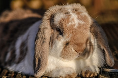 Paws for thought (Paul Wrights Reserved) Tags: rabbit rabbits bunny bunnies chilling chillingout relax relaxing fluffy fur furry ears lop paws animal animals pet pets mammal
