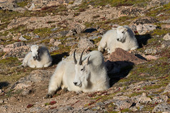 Mountain Goat nanny playing baby sitter to the kids
