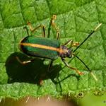 Leaf beetle, Dircema sp., Chrysomelidae thumbnail
