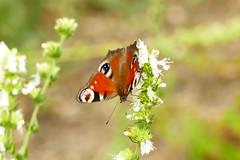 Butterfly (lebastian) Tags: panasonic dmcfz1000 macro butterfly natur nature