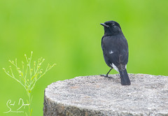 DSC_2530 (@sumitdhuper) Tags: wallshare nature bird black pied bushchat male