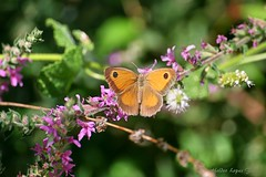 Borboleta (Helderlopesfotos) Tags: natureza canon borboleta butterfly jardim insetos flores green verde portugal flower flowers nature park light macro