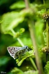 116_Papillons_9460 (darry@darryphotos.com) Tags: melle entomologie macro papillon lhespériedespotentilles