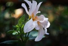 (onigiri1985) Tags: gardensbythebay gbtb flowers bokeh swirly helios442 helios