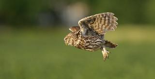 Little owl fly by