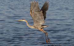 Great blue heron (Ardea herodias) (famasonjr) Tags: water lake nature wildlife heron blue canoneos7d bog canonef28135mmf3556isusm pond wetland