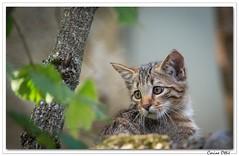 Chaton sauvage (Felis silvestris) (C. OTTIE et J-Y KERMORVANT) Tags: chatsauvage chatforestier chaton felissilvestris parcanimalier suisse nature animaux mammifères chat