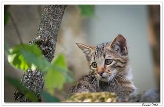 Chaton sauvage (Felis silvestris)
