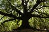 Quercus Ilex (ciccioetneo) Tags: quercusilex ilicedicarrinu ilicedicarlino leccio etna unesco volcanoetna nikon d7000 nikond7000 sigma1020mm ilicedupantanu ilicedicarrino contradadagalone dagalone wideangle grandangolo